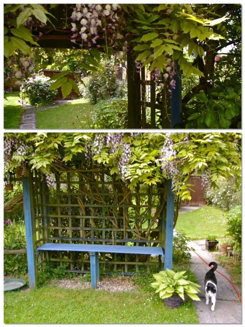 blue garden seat losing itself in the wisteria