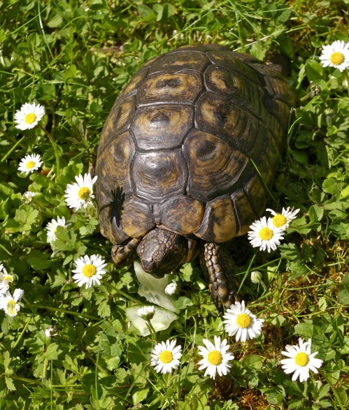 Tommy-Fred the tortoise
