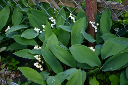 invading lily of the valley