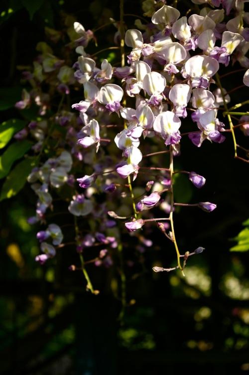 wisteria in the sunlight