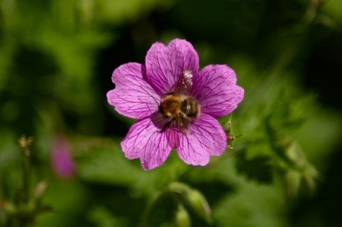 bee on the geranium