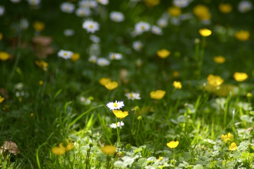 buttercups and daisies - so much prettier than a manicured lawn