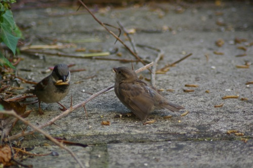 sparrow feeding time