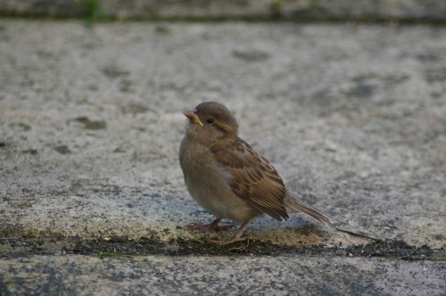 sparrow fledgling
