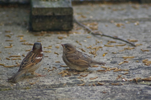 sparrows enjoying the meal worms