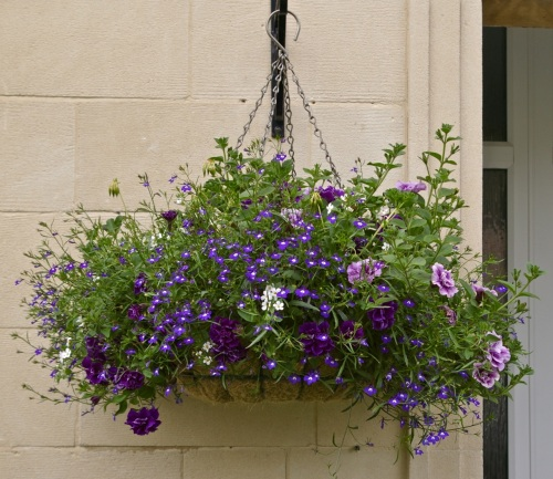 hanging basket: purple haze