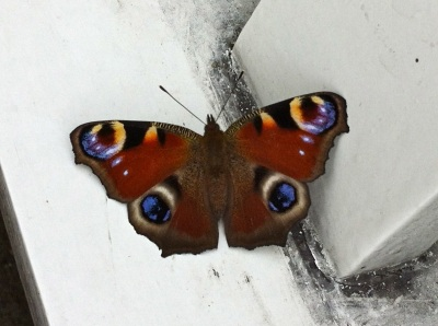 Dyrham Park peacock butterfly