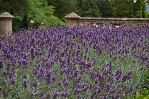 lavender in the 'rose garden'