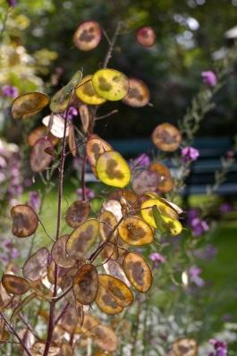 honesty seed heads in sunlight