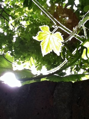 leaves and sunlight over a wall