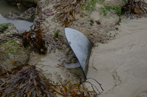 looks scarily like a buried shark (but it's not!)