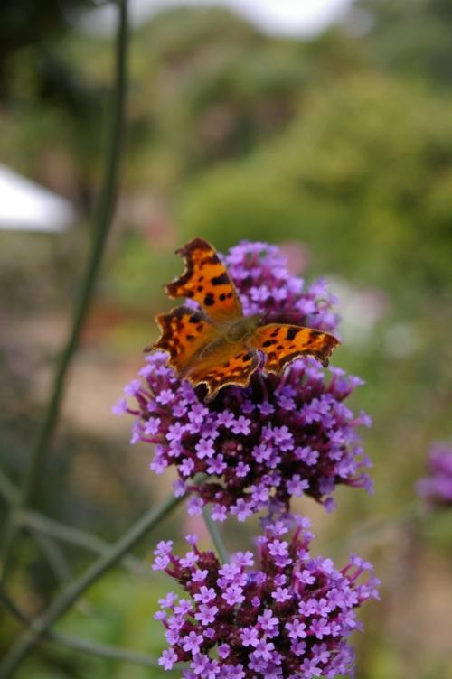 beautiful comma butterfly