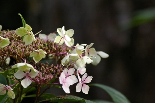 hydrangea at the swannery in Abbotsbury
