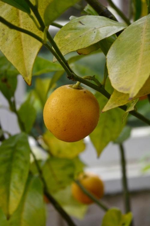 lemons in the orangery - does that make it a lemonery?