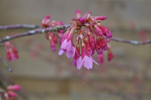 shrub flowering cherry