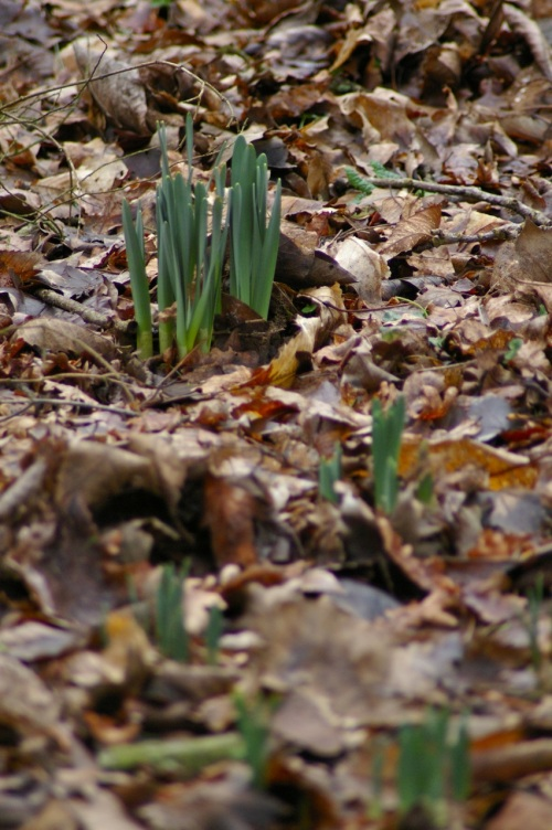 daffodils pushing through the old year's leaves