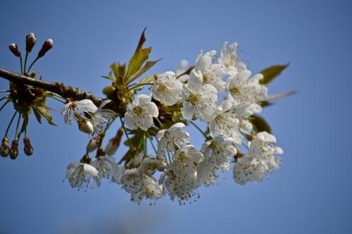 cherry blossom - 22