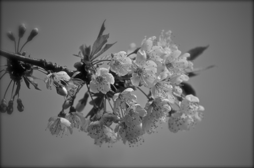 cherry blossom - 23