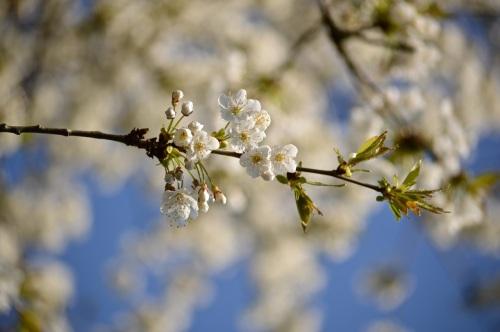 cherry blossom - 24