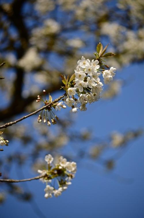 cherry blossom - 25