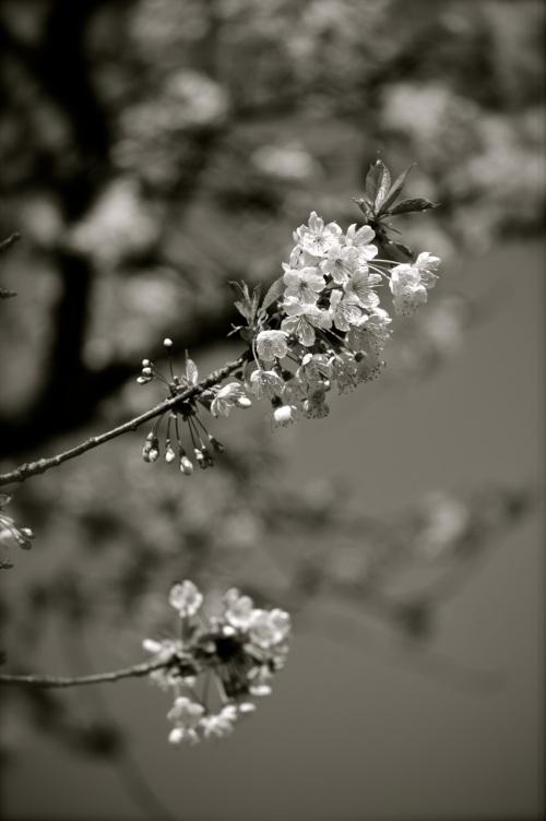 blossom - even more delicate in black and white