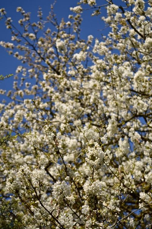 cherry blossom - 27