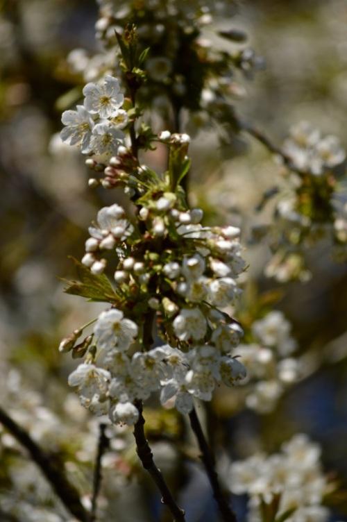 cherry blossom - 29