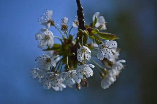 cherry blossom - 41