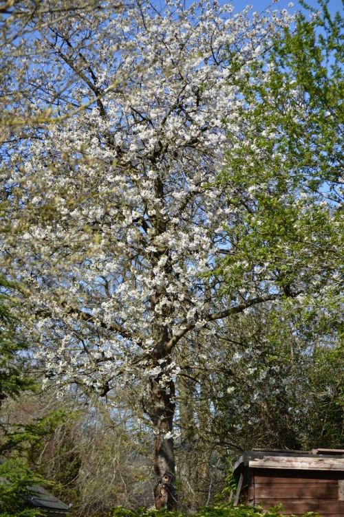 cherry blossom - 57