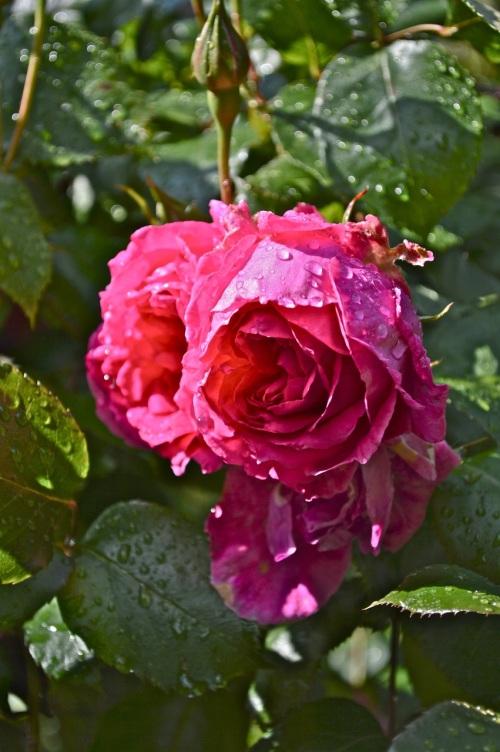 2014 May 5 Bath WI garden - 112