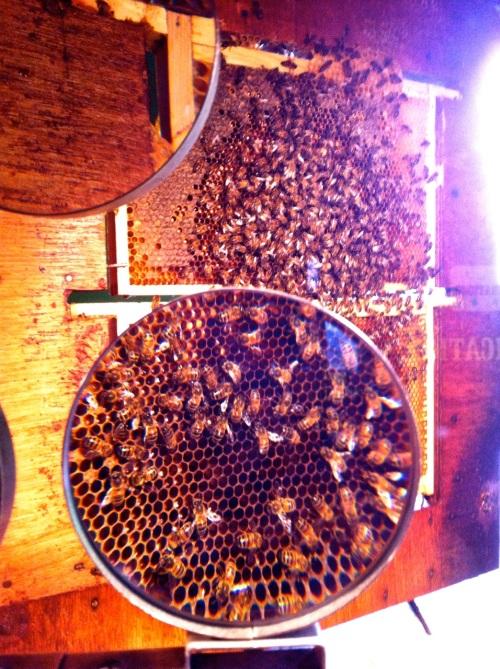 Quince bee farm - 8
