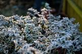 frost 29dec30