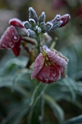 frosty morning06