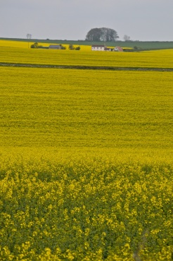 oilseed rape 24 april 201501