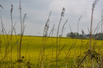 oilseed rape 24 april 201502