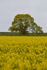 oilseed rape 24 april 201505