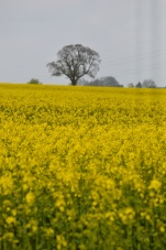 oilseed rape 24 april 201507