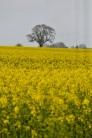 oilseed rape 24 april 201507