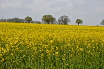 oilseed rape 24 april 201508