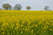 oilseed rape 24 april 201510