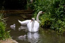swans 01 07