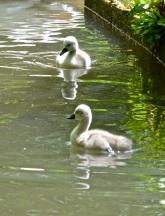 swans 01 08