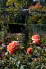 rosemoor018
