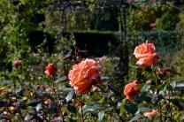 rosemoor019