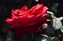 rosemoor021