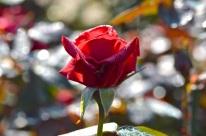 rosemoor022